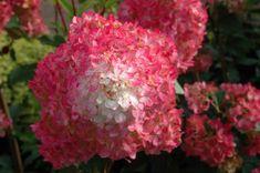 Vanilla Strawberry Hydrangeas...I want some of these in my yard. SO pretty!  Google Image Result for http://flowergardengirl.files.wordpress.com/2010/03/13-hydrangeapanvanillastrawberry.jpg