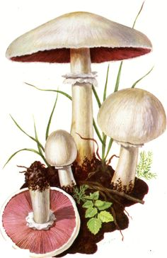 Psalliota arvensis Prataiolo maggiore Mushroom Drawing, Mushroom Art, Mushroom Fungi, Botanical Drawings, Botanical Art, Fantasy Forest, Plant Art, Fruit Art, Free Prints