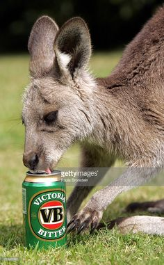 """Baby Boomer"", an eleven month old Eastern Grey Kangaroo, enjoys his. Most Popular Beers, Meanwhile In Australia, Party Scene, Australia Day, Kangaroo, Funny Animals, Kicks, Wildlife, Pedestrian"