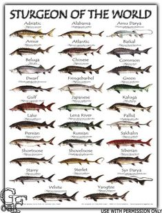 All 29 species of sturgeon found only in the northern hemisphere illustrated by G.fitch/G. Sturgeon of the World Poster Deep Sea Fishing, Gone Fishing, Fishing Tips, Fishing Basics, Fishing Stuff, Fishing Shirts, Fishing Tackle, Koi Fish Pond, Fish Ponds