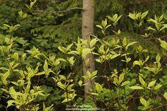 Cornus alba 'Gouchaultii' Romppala - Lindan pihalla: Kevätkatsaus