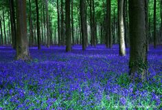 Bluebells in the English countryside Spanish Bluebells, English Bluebells, Beautiful Gardens, Beautiful Flowers, Beautiful Places, Champs, Blue Bell Flowers, English Countryside, Watercolor Landscape
