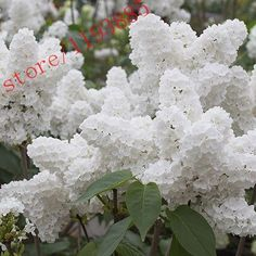 100pcs White Lilac Seeds (Extremely Fragrant) clove flower seeds