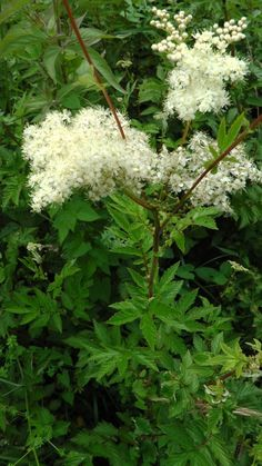 meadowsweet....via methow valley herbs