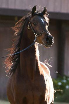 SAMURAI JULLYEN V Varian bred Arabian