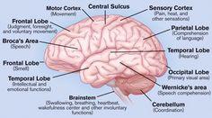 Anatomy of the brain .
