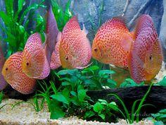 discus fish | Location: kuala lumpur, malaysia