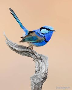 Splendid Fairy Wren Australia Super photo taken by: Thanks 4 tagging Photo selected & Mod cc ________________________________________________. Check out by nuts_about_birds Exotic Birds, Colorful Birds, Exotic Pets, Pretty Birds, Beautiful Birds, Degu, World Birds, Australian Animals, Bird Pictures