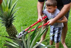Grow Your Own Pineapple Pineapple Planting, Last Minute Gifts, Grow Your Own, Gardening Tips, Outdoor Power Equipment, Christmas Diy, Harvest, Fruit, Plants