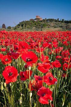 Poppy field below Palazzo Massaini near Pienza, Tuscany, Italy by roxana.florea