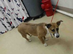 ***SUPER URGENT! 1/5/17- HOUSTON FACILITY OVER CAPACITY - This DOG - ID#A474846 I have a possible adopter. I am a female, brown and white Welsh Corgi - Cardigan. My age is unknown. I have been at the shelter since Dec 30, 2016. This information was refreshed 52 minutes ago and may not represent all of the animals at the Harris County Public Health and Environmental Services.