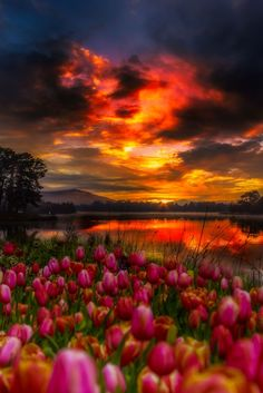 Passion by R Rahman #sunset #flowers #tulips