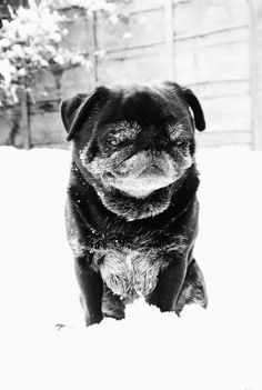 Gonk the Snow Pug - Sweet dog! I worry that he's too cold. I want to bundle him up and bring him inside where it's warm!