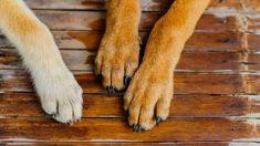"""""""Nagyon szeretjük, mert puhán tartja a kutyusaim mancsát. A fiatalabbnak különösen száraz a bőre, és neki nagyon hamar és nagyon szépen rendbe is tette, azóta használjuk. A pumpás kiszerelés pedig nagyon sokat segít a mancsmosásnál. Esetleg az jó lenne, ha lehetne kapni nagyobb kiszerelésben is :)"""" Paw Print Image, Taking Dog, Dog Ages, Pet Safe, Cat Paws, Large Dogs, Dog Owners, Best Dogs, Pet Adoption"""