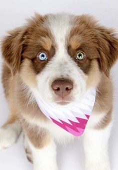 Aussie Red Merle with a blue & a green eye... beautiful!