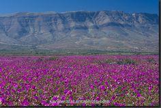 Resultados de la Búsqueda de imágenes de Google de http://www.atacamaphoto.com/atacama-flora/atacama-flora31.jpg