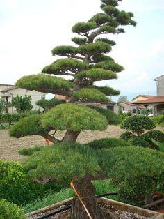 Znalezione obrazy dla zapytania bonsai w ogrodzie