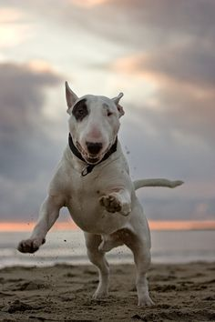 Diezel the Bull Terrier, by Daniel Roos, via Behance. Visit NoahsDogs.com for more information about this wonderful breed.