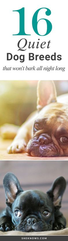 16 Quiet Dog Breeds That Won't Bark All Night Long: Quiet dog breeds