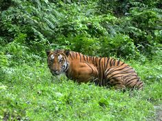 Six tiger poachers shot dead by Bangladeshi police | Asia | News | The Independent