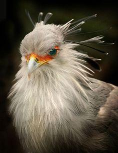 The Secretarybird or Secretary Bird (Sagittarius serpentarius) is a large, mostly terrestrial bird of prey.