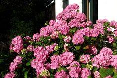 Hortensia - beskæring i foråret
