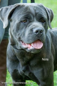 Nola is a one year old spayed female Cane Corso. She was originally found as a stray but her owners were located. After a brief time, they decided to surrender her to us. Nola was purchased originally from an Amish breeder online. She clearly. Black Lab Puppies, Dogs And Puppies, Corgi Puppies, Black Pitbull, Black Labs, Black Labrador, King Corso Dog, Cane Corso Mastiff, Mastiff Dogs