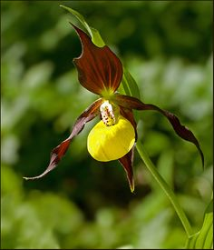 Lady's Slipper  Photographed in Sweden by Ivan Kruys.