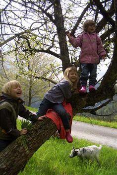 Die Kinder füttern die Ziegen von den Bäumen.  http://www.ponyhof-familienhotel.at