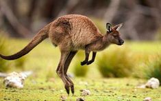 This Kangaroo Is Showing of It is listed (or ranked) 36 on the list 37 Wonderful Pictures of Animals in Action