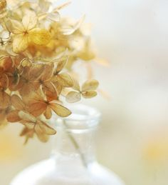 Fall autumn gold hydrangea bokeh soft yellow nature by Kristybee, home decor at it's finest. LOVE this photography!!!