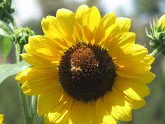 Black Oil Sunflower Seeds, Sunflower Patch, Giant Sunflower, Yellow Sunflower, Mammoth Sunflower, Red Sunflowers, First Day Of Summer, Days Of The Year, Garden Photos