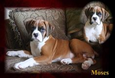 Boxer Dog Picture