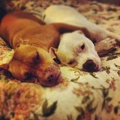 pitbulls........ Ok that does it we are getting one, or two : )