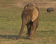 Young Elephant by Ken Watkins, via Safari, Baby Elephant, Big Cats, Animal Kingdom, National Parks, Cute Animals, Zimbabwe, Elephants, Pretty Animals