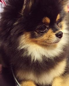 Close- #pomeranian #pom #pompom #pomeraniandogs #pomeranianworld #pomeranianpage #thedailypompom #coolangel369 #animal #animalphotography #animallovers #woof #petsagram #blackandtan #cutenessoverload #bestdogever #lovely #beauty #model #fluffy #littlemonster #kingkong #doggy #dog #doglover #closeup #photography #littleboy #dogstagram