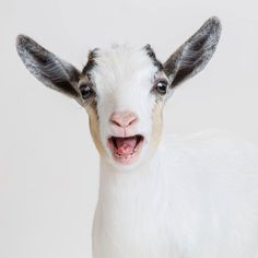 July 31, 2015 - OH MY GOD IT'S FRIDAY! - Pygmy Goat Kid - Lucy 2015©Barbara O'Brien Photography
