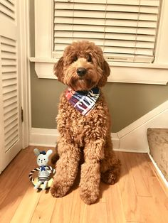 My 8 month old goldendoodle puppy named Stark! Goldendoodle Full Grown, Goldendoodle Haircuts, Goldendoodle Grooming, Mini Goldendoodle Puppies, Dog Haircuts, Goldendoodle Names, Standard Goldendoodle, Cute Dogs And Puppies, Baby Dogs