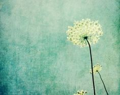 Queen Anne's Lace photography  botanical art print by LupenGrainne, $21.00