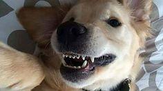Wesley, il cane con l'apparecchio per raddrizzare i denti storti
