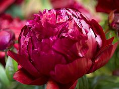 Peter Brand is absolutely stunning.  It is a dark red/purple, double and a great price!