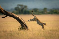 A male cheetah jumps down from the diagonal trunk of a tree. He has brown fur covered with black spots, and in the background can be seen a line of trees. Shot with a Nikon in the Serengeti National Park in Tanzania in May ISO Capture Photography, Photography Awards, Wildlife Photography, Dik Dik, Lilac Breasted Roller, Serengeti National Park, Photo Awards, Baboon, Cheetahs