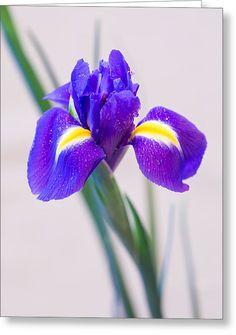 Wonderful Iris With Dew Greeting Card by Yana Reint  #YanaReint #YanaReintFineArtPhotography #Greetingcards #postcards #Iris #lovely iris #flowers