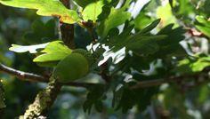 Teil 1 der Pflanzenmagie : Die Eiche