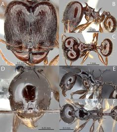 A group of Japanese entomologists has described and named four new species of the ant genus Pheidole from the tropical rainforests of Papua New Guinea and the Fijian islands.