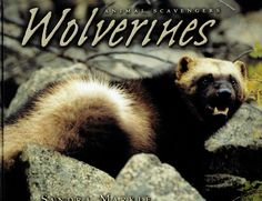 The wolverine is a powerful animal that resembles a small bear but is actually the largest member of the weasel family.  These tough animals are solitary, and they need a lot of room to roam. Individual wolverines may travel 15 miles (24 kilometers) in a day in search of food. Because of these habitat requirements, wolverines frequent remote boreal forests, taiga, and tundra in the northern latitudes of Europe, Asia, and North America.  Wolverines eat a bit of vegetarian fare, like plants…
