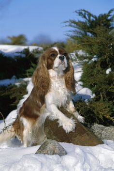 This is a breed I would love to own one day the Cavalier King Charles Spaniel... They are beautiful and regal looking and plus they have an excellent temperament!!!