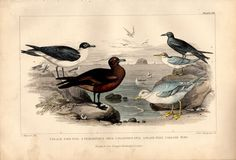Rare Antique Sea Gull Bird Species Print from A History of Earth and Animated Nature By Oliver Goldsmith Copper Engraving by TheLotAntiquesandArt on Etsy
