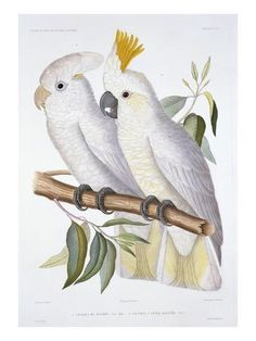 size: Giclee Print: Print of Two Cockatoos by A. Dumenil Art Print by Stapleton Collection : Entertainment Tropical Birds, Watercolor Bird, Cockatoo, Bird Prints, Wall Prints, Pet Gifts, Giclee Print, Print Print, Stone Art