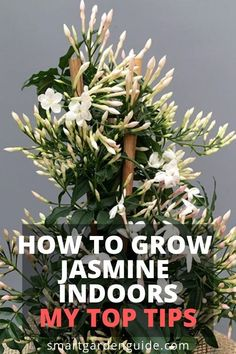 to grow jasmine indoors. Read my complete guide to jasmine plant care at to grow jasmine indoors. Read my complete guide to jasmine plant care atto grow jasmine indoors. Read my complete guide to jasmine plant care at Jasmine Plant Indoor, Best Indoor Plants, Indoor Plant Pots, Smart Garden, Garden Care, Gardening For Beginners, Gardening Tips, Organic Gardening, Balcony Gardening